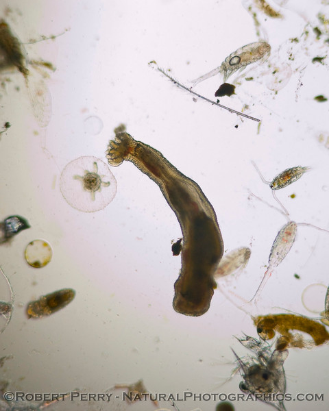 Unident worm 2008 02-14 Zuma-083crop