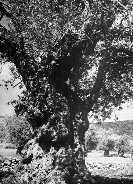 A One Thousand Year Old Olive Tree