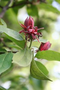 Calycanthus floridus (Sweetshrub)