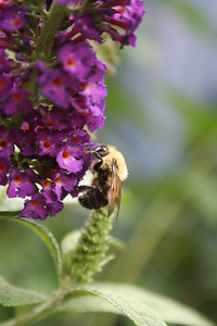 Buddleia davidii 'Lochinch' (Butterfly Bush) and Bumble Bee