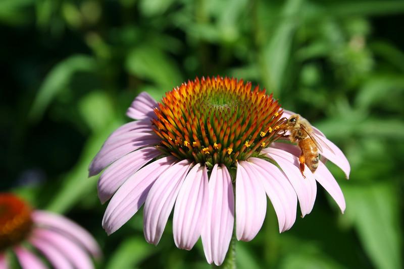 Echinacea purpurea, Purple Coneflower + Honey Bee