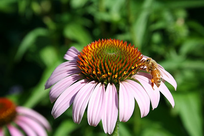 Echinacea purpurea, Purple Coneflower + Honey Bee