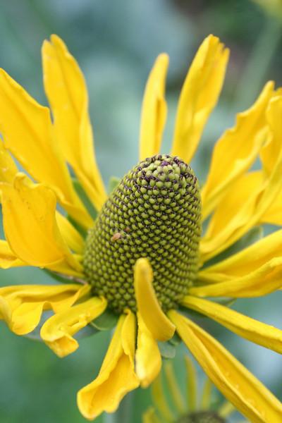 Yellow Coneflower (TALL)