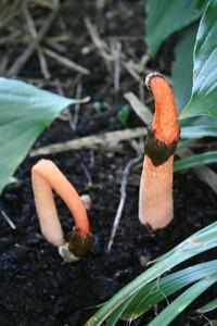 Mutinus caninus (Stinkhorn)