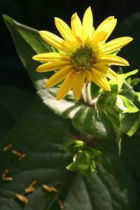Indian Cup Plant, Silphium perfoliatum L.
