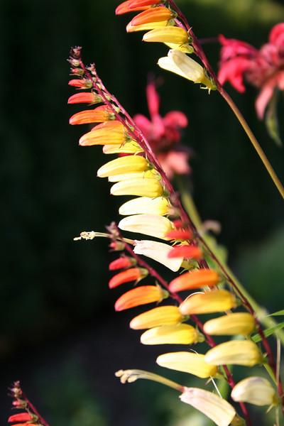 Longwood Gardens:<br /> Spanish Flag, Firecracker Vine, Exotic Love Vine<br /> Family: Convolvulaceae<br /> Genus: Ipomoea<br /> Species: lobata