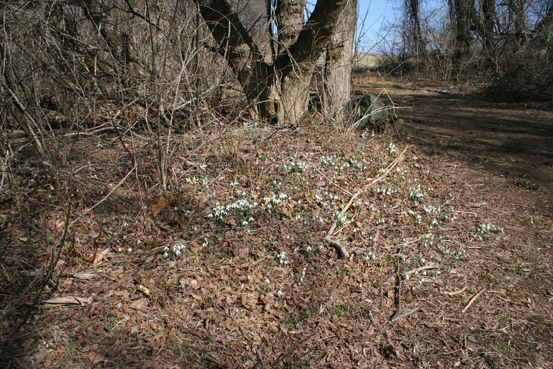 Snowdrop (Galanthus nivalis)<br /> Location: Brandywine Creek State Park