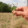 Astragalus af nuttallianus