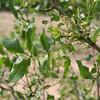 Zanthoxylum hirsutum, Prickly ash