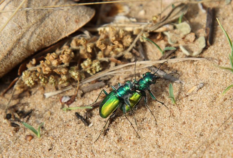 Cicindela scutellaris flavoviridis, the (green) festive tiger beetle<br /> On Aquila Sand under north power line at FWNCR