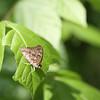 Hackberry Butterfly ...  Asterocampa celtis