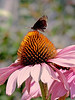 Moth on Flowers - Getty - Echinacea<br /> Sony H5<br /> Auto IS0<br /> AWB<br /> Hand Held<br /> IS On