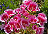 Pink Flowers - Desconso Gardens - Just Watered - Spring<br /> Pentax Ds - Tamron 90mm Macro F2.8