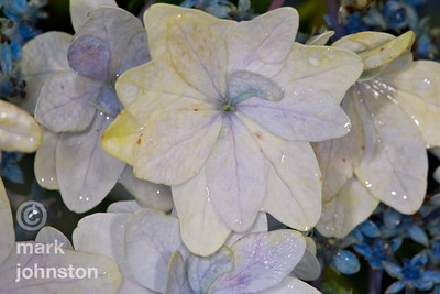 Ajisai, or hydrangea, bloom during the June/July rainy season on the Izu Peninsula, Shizuoka Prefecture, Japan.