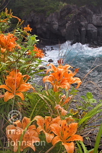 Lilies in bloom on the rocky coastline of Japan's Izu Peninsula, Shizuoka Prefecture.