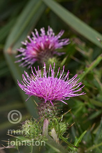Thistle flowers.