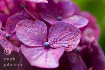 Ajisai 紫陽花, or hydrangea, bloom during the June/July rainy season on the Izu Peninsula, Shizuoka Prefecture, Japan.
