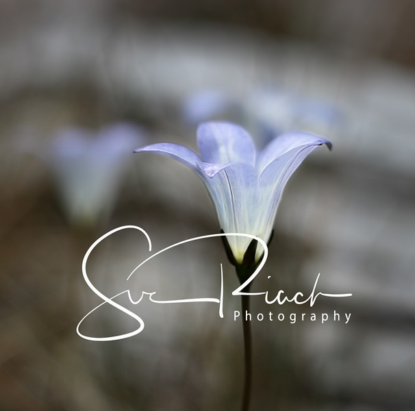 Delicate Bluebell