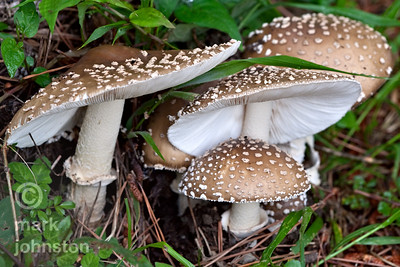Mushrooms explode from the forest floor during the humid summer months on the Izu Peninsula, Shizuoka Prefecture, Japan.