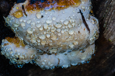 Fungi Bleeding Moisture