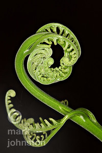 A fiddlehead uncoils.
