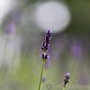RHS Savill Gardens 14-06-14  0014