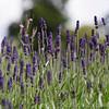 RHS Savill Gardens 25-06-15  0002