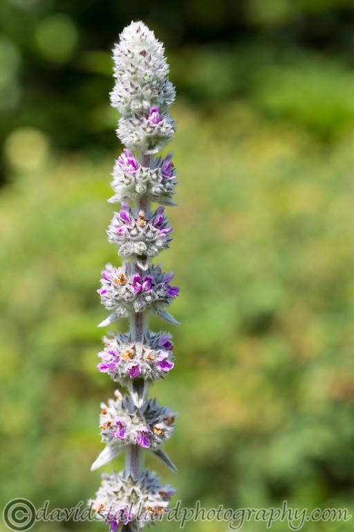 IMAGE: http://www.davidstallardphotography.com/Plant-Life/RHS-Wisley/RHS-Wisley-06-07-13/i-GXB5nNv/0/XL/RHS%20Wisley%2006-07-13%20%20114-XL.jpg
