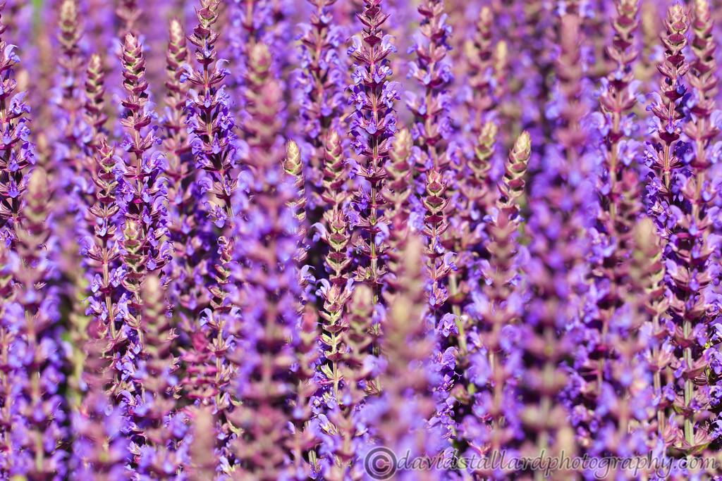 IMAGE: http://www.davidstallardphotography.com/Plant-Life/RHS-Wisley/RHS-Wisley-06-07-13/i-JqR8kst/0/XL/RHS%20Wisley%2006-07-13%20%20276-XL.jpg