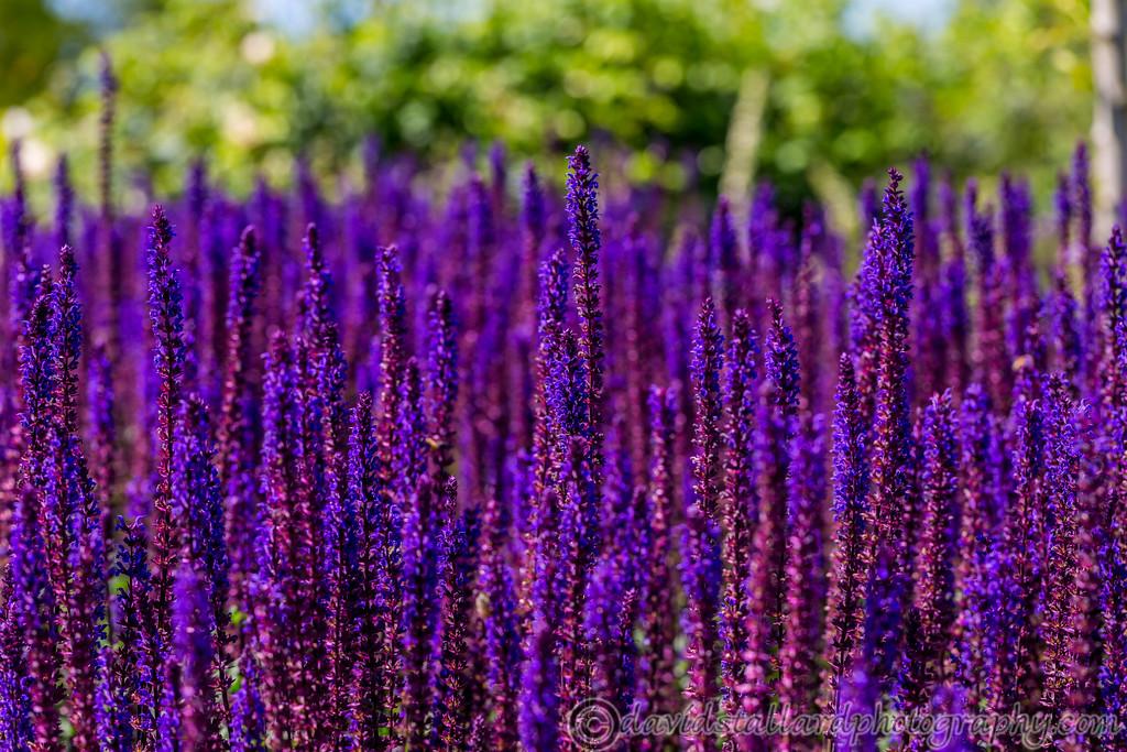 IMAGE: https://photos.smugmug.com/Plant-Life/RHS-Wisley/RHS-Wisley-17-06-17/i-rwmqVgd/0/a43e1bb9/XL/RHS%20Wisley%2017-06-17%20%200060-XL.jpg