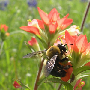 Large bumble been in the Indian Paintbrush fields, TX