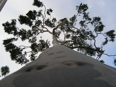 Lookup up, Tree on Balboa Island, CA