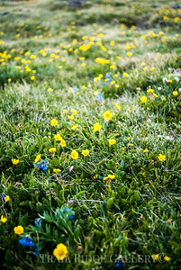 Alpine forget-me-not and Snow buttercups