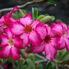 Caribbean Oleander