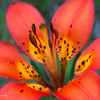 Western Wood Lily