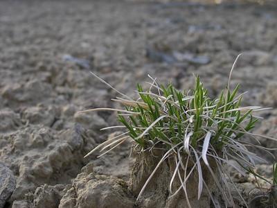 Hardy grass in desert sand, Cuba, NM