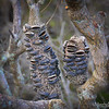 Banksia Pods