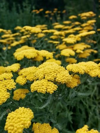 Field of Flowers, Colorado
