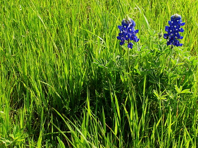 Lonely Bluebonnet pair, TX