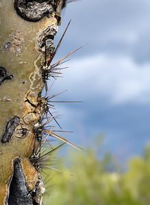Saguaro Spikes