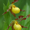 "Yellow Lady""s Slipper"