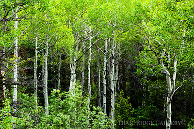 Aspens Growing In calm