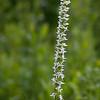 Bog Orchid