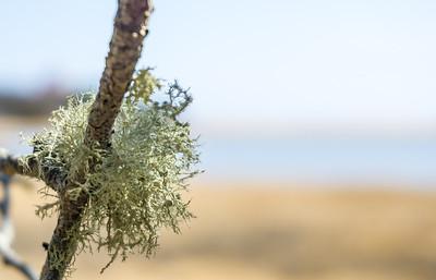 Cape lichen