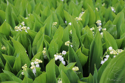 Raindrops on Lilies of the Valley