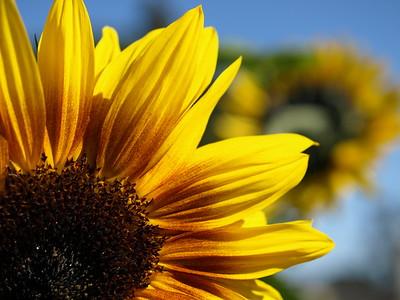 Sunflower, Balboa Park, San Diego, CA