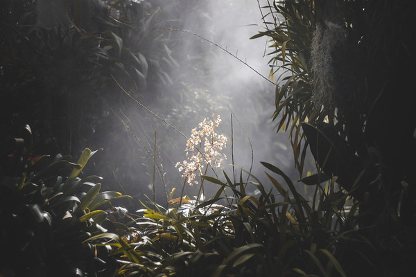Orchids in the Mist