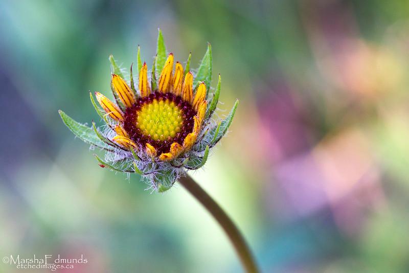 Young Gaillardia Flower