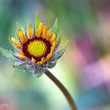 Young Gaillardia Flower