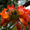 African Tulip Tree Buds and Blossoms